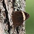 Banded Tree Brown I IMG 6373.jpg