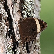 Banded Tree Brown I IMG 6373.jpg