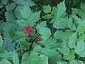 Baneberry (actea rubra) with berry (aaae2ad47b804dc4a9eb754d383caa59).JPG