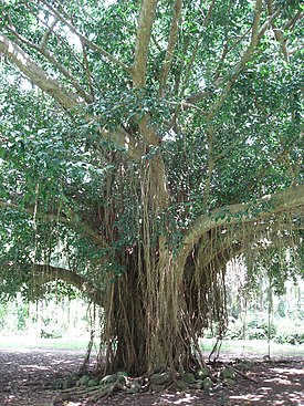 Banyan 02 in Tenganan by Line1.jpg