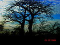Baobab fadiouth.jpg