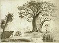 Baobab or Adansonia Gregorii.jpg