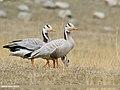 Bar-headed Goose (Anser indicus) - Flickr - gilgit2.jpg