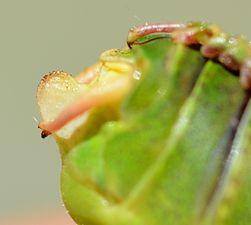 Barbitistes fischeri male (31504037450).jpg