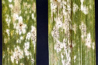 Blumeria graminis - Image: Barleypowderymildew