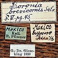 Baronia brevicornis no2 1.jpg