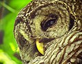 Barred owl in Baton Rouge (15045276564).jpg