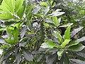 Barringtonia acutiangula-1-AJCBIBG-howrah-India.jpg