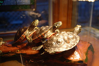 Ectotherm - Pseudemys turtles (shown here basking for warmth) are ectothermic.