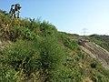 Bassia scoparia subsp. densiflora sl42.jpg