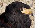 Bateleur Eagle (5634920991).jpg