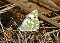 Bath White (Pontia daplidice) male (36408439053).jpg