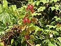 Bauhinia phoenicia Scarlet Bauhinia Markot AJTJ2.JPG