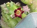 Baynesia lophophora.jpg