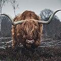 Beautiful highland cattle.jpg