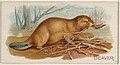 Beaver, from the Quadrupeds series (N21) for Allen & Ginter Cigarettes MET DP835102.jpg