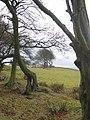 Beeches on the Bathgate Hills. - geograph.org.uk - 112724.jpg