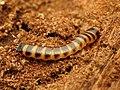 Beetle Larva (34565397575).jpg