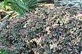 Begonia Venezuelan Species 3zz.jpg