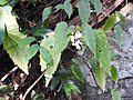Begonia malabarica-2-mundanthurai-tirunelveli-India.jpg