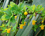 Berberis rotundifolia of the Berberidaceae (8406231399).jpg