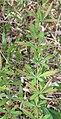 Berberis sieboldii leaves.JPG