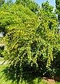 Berberis vulgaris kz02.jpg