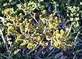 Bergboegoe aniseed scented indigenous herb - Agathosma ciliaris - South Africa 2.jpg