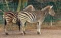 Berlin Tierpark Friedrichsfelde 12-2015 img14 Chapman zebra.jpg