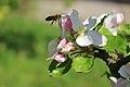 Biene im havelland mit apfelbaum.jpg