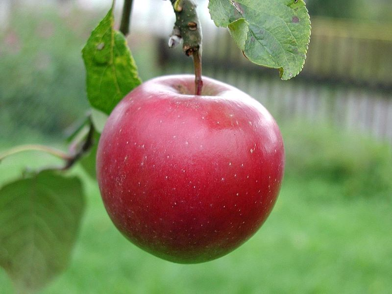 File:Big red apple.jpg
