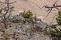 Bighorn sheep in Gardner Canyon (eef0a914-5d94-45fc-9532-afe9587792ca).jpg
