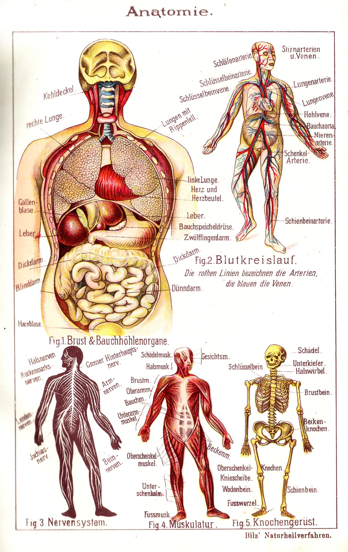 kroppens anatomi indre organer
