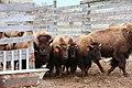 Bison in Corwin Springs (02459463-b3f9-498b-a40f-cb6e48d7c996).jpg