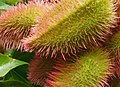 Bixa orellana (Bixaceae).jpg