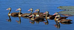 Black-bellied whistling ducks (Dendrocygna autumnalis).jpg