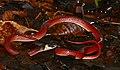 Black-collared Snake (Drepanoides anomalus) (39117800810).jpg