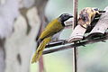 Black-headed Saltator (Saltator atriceps) (5783212415).jpg