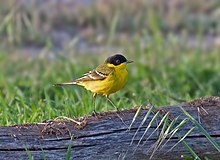 Black-headed wagtail.jpg