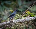 Black-winged Cuckooshrike.jpg