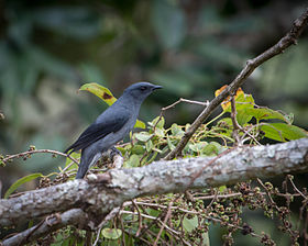 Black-winged Cuckooshrike.jpg