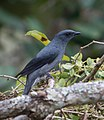 Black-winged Cuckooshrike (cropped).jpg