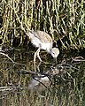 Black-winged Stilt chick (Himantopus himantopus) - Flickr - Lip Kee.jpg