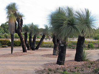 Dasypogonaceae