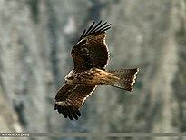 Black Kite (Milvus migrans) (22680105558).jpg