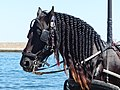 Black carriage horse head in Chania, Creta.jpg