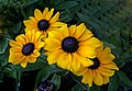 Blackeyed Susans. (14248964724).jpg