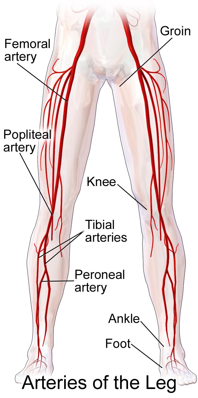 Superficial femoral artery anatomy 8559945 - follow4more.info