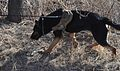 Bliss hosts FORSCOM military working dog recertifications 120207-A-CJ175-040.jpg