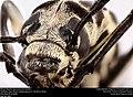 Blister Beetle (Epicauta atrivittata) (23598516942).jpg